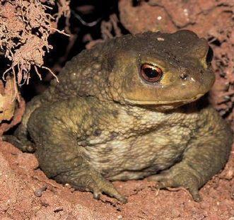 Common European toad. Image: Naturschutzbund Heidelberg, Christel Pietsch